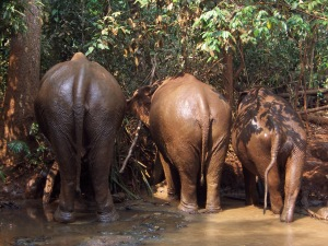 Elephants I cared for on my Volunteer trip to Cambodia